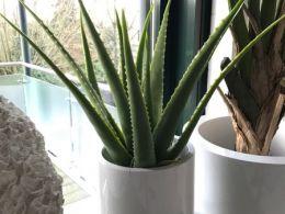 Aloe-im-weißen-Gefäß