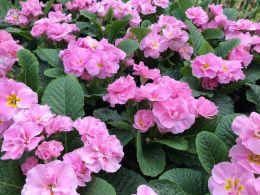 gefüllte-rosa-Primeln