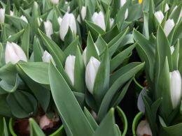weiße-Tulpen